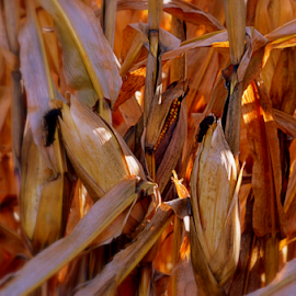 Cornfield or corn up close by Pam Satterfield Manning - Nature Up Close Gardens & Produce ( field, silk, dried, autumn, farms, fall, vegetables, artistic, other plants, gardens, nature up close, artistic objects, gold, golden, produce,  )