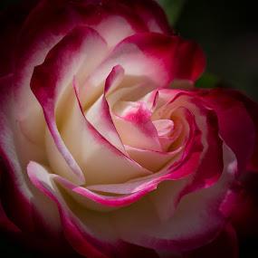 Double Delight by Janet Marsh - Flowers Single Flower ( flowers, double delight, rose, red and white,  )