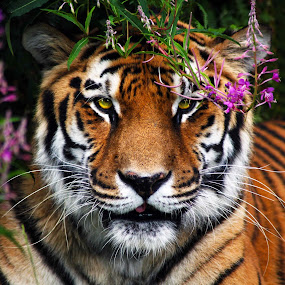 Tigger look by Claudiu Bichescu - Animals Lions, Tigers & Big Cats