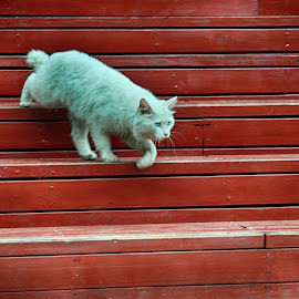 Going Down by Francisco Little - Animals - Cats Portraits ( feline, white, pussy, cat, down, kitty, walk )