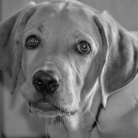 B/W Lab Pet by Diliban P - Black & White Animals ( black and white, pet, puppy, labrador, dog,  )