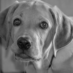 B/W Lab Pet by Diliban P - Black & White Animals ( black and white, pet, puppy, labrador, dog,  )