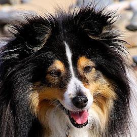 Bonny Sheltie by Chrissie Barrow - Animals - Dogs Portraits ( tongue, male, white, long, portrait, eyes, pet, ears, fur, dog, nose, sheltie, tan, black )