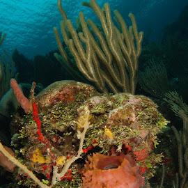 Reef Scenic by David Gilchrist - Landscapes Underwater ( coral reef, roatan marine park, underwater, underwater photography, underwater landscape )