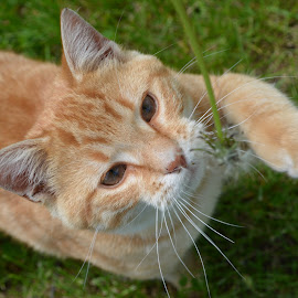 Milo by Stacey Legg - Animals - Cats Playing ( playing, cats,  )