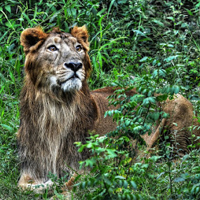 The King. by Tathagata Fotography - Animals Lions, Tigers & Big Cats