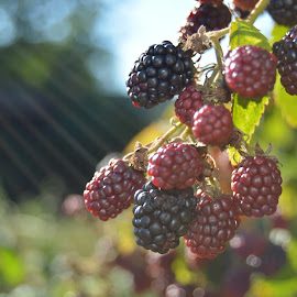 blackberries bokeh by Gabrijela Žvorc - Nature Up Close Gardens & Produce