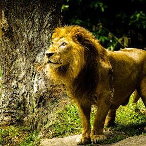 The Lion King by Valliappan Chellappan - Animals Lions, Tigers & Big Cats ( wild, lion, cat, wildlife, king )