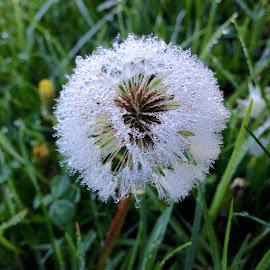 dandelion by Donna Racheal - Instagram & Mobile iPhone ( up close, nature, dandelion, dew drops, morning dew )