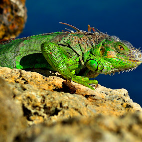 by Alan Potter - Animals Reptiles