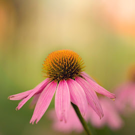 colorful Flower  by Ida Burress - Nature Up Close Gardens & Produce ( macrophotography, nature, coneflower, flowers, spring, garden, flower,  )