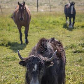 Yakty Yak by Dan Bartlett - Animals Other Mammals