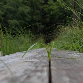 The Path by Beth Staub - Nature Up Close Trees & Bushes ( grass, green, plants, summer, trees, plank, walkway, pretty, walk, hike )