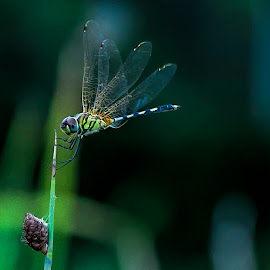The pose of the dragonfly by Gordon Koh - Animals Insects & Spiders ( dragon fly, nature, insect )