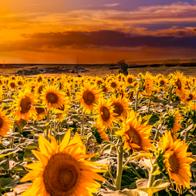 Field of sunflowers on the sunset by Opreanu Roberto Sorin - Flowers Flower Gardens ( bright, sunflowers, sunflower, yellow, landscape, plantation, blossom, crop, sun, sky, nature, sunny, evening, flower, sunbeam, green, beautiful, agriculture, sunlight, farming, field, organic, season, sunset, outdoor, background, meadow, summer, sunrise, golden, growth,  )