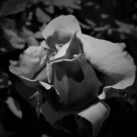 by Denise O'Hern - Black & White Flowers & Plants