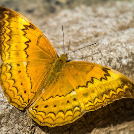 Himalayan Large Yeoman Butterfly by Amrita Bhattacharyya - Animals Insects & Spiders
