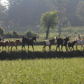 Lined goat. by Deny Afrian Wahyudi - Animals Other ( ricefield, farming, travel photography, destination, animal )