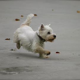 Taking a run at Carmel Beach. by Victoria Eversole - Novices Only Pets ( dogs playing, dogs running, beach )