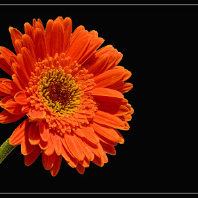 orange gerbera daisy by Nunsyinrayakaf Ainzalmimya - Nature Up Close Flowers - 2011-2013