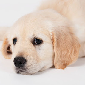Yoshi by Leticia Cox - Animals - Dogs Puppies ( pet portrait, puppies, dogs, pet, dog portraits, golden retriever,  )