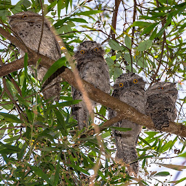 Tawny Frogmouth Family by Sarah Sullivan - Novices Only Wildlife