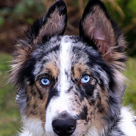 Louie by Chrissie Barrow - Animals - Dogs Portraits ( white, portrait, eyes, border collie, blue, pet, fur, ears, blue merle, dog, nose, tan, black )