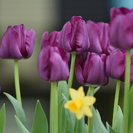 Spring Bulbs  by Lorraine D.  Heaney - Flowers Flower Buds