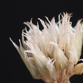 Dead Chive by Nikki Hutchins - Nature Up Close Other plants ( #nature #chives )