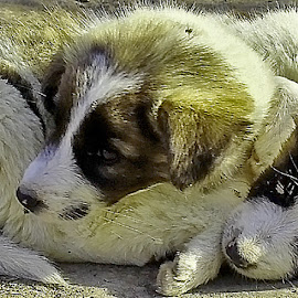 twins by Mohsin Raza - Animals - Dogs Puppies
