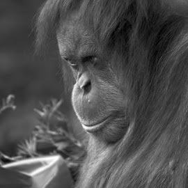 Deep in Thought by Fiona Ruth Photography - Animals Other ( animals, nature, zoo, orangutan, photography )