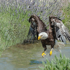 Hunting by Massimo Mazzasogni - Animals Birds ( bird, water, flight, eagle, nature, fly, wings, beak )
