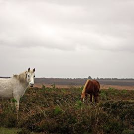 New Forest Ponies by Ingrid Anderson-Riley - Animals Horses