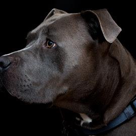 Josh by Casey Bebernes - Animals - Dogs Portraits