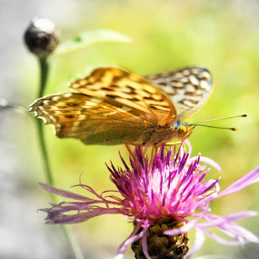 Butterfly by Vero Vero - Animals Insects & Spiders ( butterfly, nature, colors, focus, insect, wildlfe )