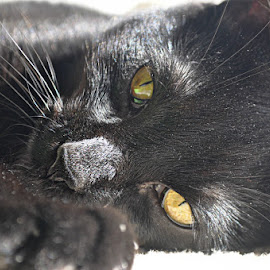Black Kitten Portrait 2 - by B Lynn - Animals - Cats Portraits ( face, cat, detail, cute, photography, eyes, cats, pets, gold, baby, portraits, animal, mammals, kitten, animals, hdr, sharp, ground level, close up, portrait, black cat, sweet, pet, adorable, golden )