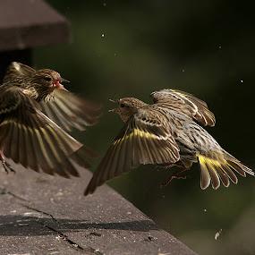 Dispute by Michel Lapensée - Animals Birds