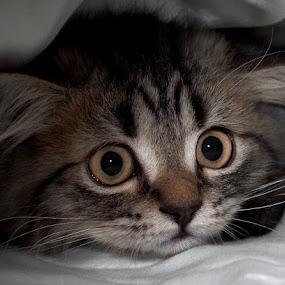 Coco as kitten by Leticia Cox - Animals - Cats Kittens ( cats, kitten, cute kitten, portraits,  )
