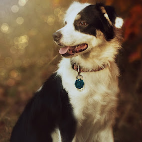 Autumn Air II by Christy Borders - Animals - Dogs Portraits ( canine, shepherd, autumn, fall, dog, pwc84 )