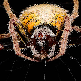 Tropical Orb Weaver - Eriophora Ravilla by Wan Cini - Animals Insects & Spiders ( tropicalorbweavereriophoraravilla, eriophoraravilla, tropicalorbweaver )