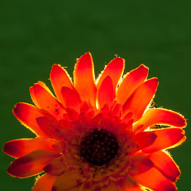 Lit Flower by Lizzy MacGregor Crongeyer - Novices Only Objects & Still Life ( orange, backlit, faux flower, single flower, backlighting )