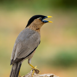 CURIOUS CUTIE..! by Ramesh Desai - Animals Birds