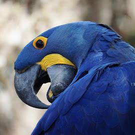 I Love the Blues by Alycia Marshall-Steen - Animals Birds