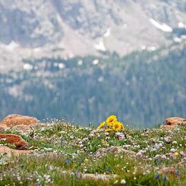 Summer Colors Above the Treeline by Marilynn Court - Landscapes Prairies, Meadows & Fields ( wildflowers, rocky, rocky mountains, meadow, colorado, landscape, flowers, rocks )