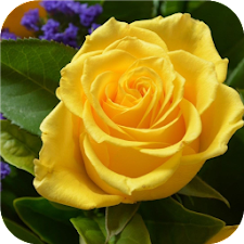Yellow roses. Flower wallpaper
