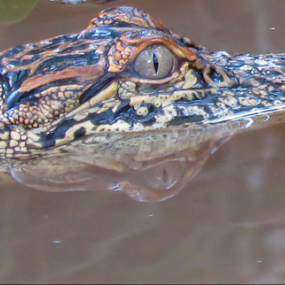 Hunting by Jeannie Love - Animals Reptiles ( water, alligator, reptile, eye, animal )