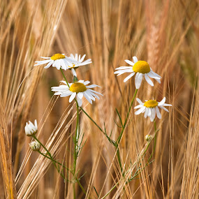 daisies by Eriks Zilbalodis - Nature Up Close Other plants ( barley, nature, daisies, summer, flowers )