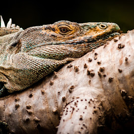Iguana by Heather Hubbard - Animals Reptiles ( up close, macro, nature, scaly, texture, iguana, reptile, animal )
