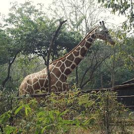 by Vaibhav Gangane - Animals Other ( #animal#nature#wild#forest#giraffe# )