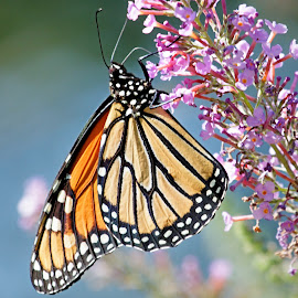 Monarch by Randall Wilkerson - Animals Insects & Spiders ( wild, butterfly, nature, flora, monarch, wildlife, summer, insect )